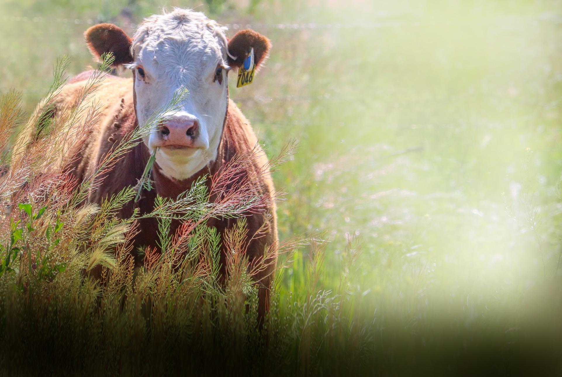 любопытный теленок